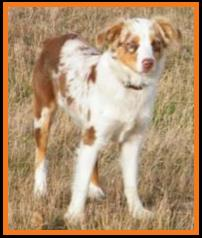blue eyed red merle miniature australian shepherd-Oct 2013