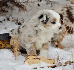 blue eyed blue merle mini aussie-week 7