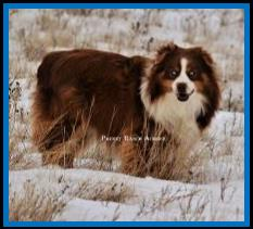 Diamond H Ghost Eye's Buckshot- bet- blue eyed red tri miniature australian shepherd-AKC Aussie- ASDR mini aussie- Ghost Eye Mini Aussies- packetranch.com- Sask., Canada