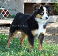 Ghost Eye's Levi Strauss- Blue eyed black tri ASDR Toy Aussie-BET Toy Aussie- Ghost Eye Mini Aussies- Packetranch.com- Sask., Canada