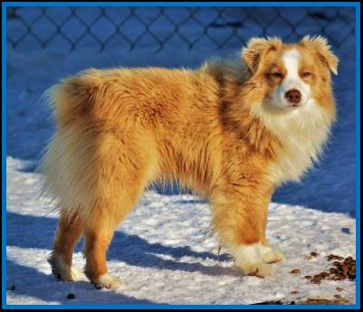 Wild Honey's Ghost Eye Red Hoss- blue eyed red tri Toy Aussie- bet toy aussie- Ghost Eye Mini Aussies- packetranch.com