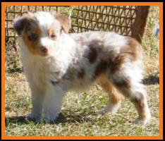 pup #3 @ 5 1/2 weeks-blue eyed red merle mini aussie- blue eyed miniature australian shepherd female pup