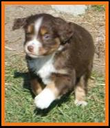 red tri miniature australian shepherd pup-blue eyed