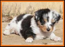 blue merle miniature australian shepherd female-blue eye