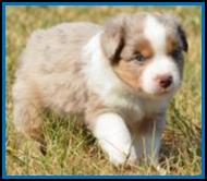 blue eyed red merle male miniature australian shepherd puppy for sale- bet lines- Ghost Eye Mini Aussies- packetranch.com- Sask., Canada