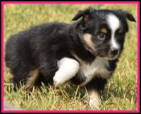 black tri female miniature/toy australian shepherd puppy for sale- bet lines- Ghost Eye Mini Aussies- packetranch.com- Sask., Canada