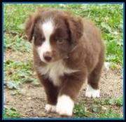 red bi Toy Australian Shepherd pup- bet Toy Aussie lines- Ghost Eye Mini Aussies- packetranch.com- Sask., Canada