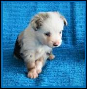 Blue eyed blue merle Toy australian shepherd pup for sale- bet toy aussie- Ghost Eye Mini Aussies- packetranch.com- Sask., Canada