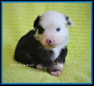 Blue eyed black tri Toy australian shepherd pup for sale- bet toy aussie- Ghost Eye Mini Aussies- packetranch.com- Sask., Canada
