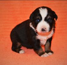 black tri miniature australian shepherd-6 weeks