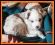 blue eyed red merle mini aussie-6 weeks