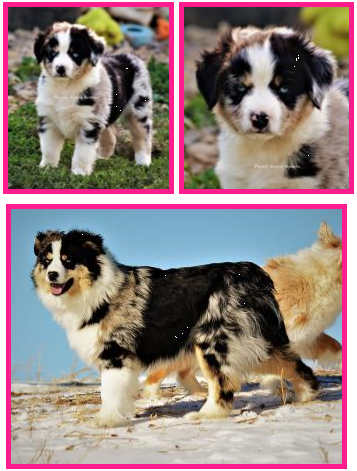 Ghost Eye's Hidden Gem- double blue eyed harlequin blue merle- bet mini aussie lines- Ghost Eye Mini Aussies- packetranch.com- Sask., Canada