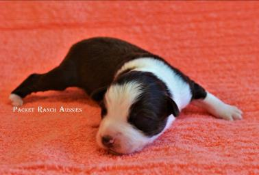 blue eyed red merle miniature australian shepherd pup-bet-5 weeks