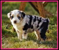 Blue eyed blue merle Miniature australian shepherd pup for sale- bet mini aussie- Ghost Eye Mini Aussies- packetranch.com- Sask., Canada