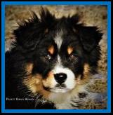 Griz- brown eyed black tri miniature australian shepherd pup for sale- bet mini aussie lines- Ghost Eye Mini Aussies-packetranch.com- Sask., Canada