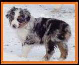 blue eyed blue merle miniature australian shepherd-bet aussie-week 8