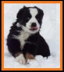 black tri miniature australian shepherd-bet carrier- week 8 