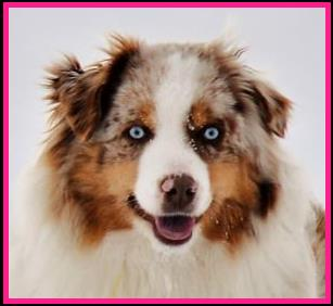 Blue eyed red merle Miniature Australian Shepherd- Ghost Eye's Mustang Sally-ASDR Mini Aussie- mini aussie bet lines- Ghost Eye Mini Aussies- packetranch.com- Sask., Canada