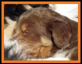 red tri miniature australian shepherd-bet lines- week 7