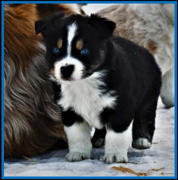 double blue eyed black tri miniature australian shepherd-ASDR Mini Aussie- bet mini aussie-  Ghost Eye Bet N On The Farm- Ghost Eye Mini Aussies- packetranch.com- Sask., Canada