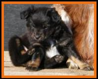 pup 2 @ 6 1/2 weeks old- black tri mini aussie-miniature australian shepherd pup for sale in Sask, Canada