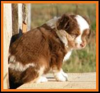 bet red merle miniature australian shepherd-6 weeks