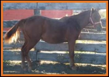PM Joe's Pepinic-sorrel grade QH filly