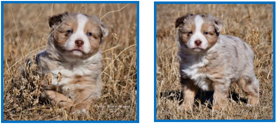 Blue eyed red merle Miniature Australian Shepherd pup for sale- bet mini aussie- Ghost Eye Mini Aussies- packetranch.com- Sask., Canada