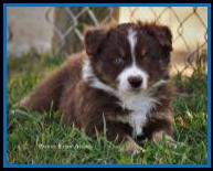 Blue eyed red tri Miniature Australian Shepherd pup for sale- bet mini aussie- Ghost Eye Mini Aussies- packetranch.com- Sask., Canada