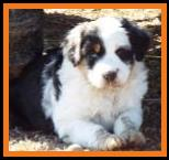 blue eye harlequin blue merle miniature australian shepherd-bet mini aussie-week7